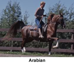 Arabian Horse trotting