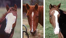 Examples of 3 different Equine Head Markings