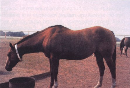 Broodmare in early gestation, body condition score 5. Shoulders & neck blend smoothly into body, no visual appearance of ribs.