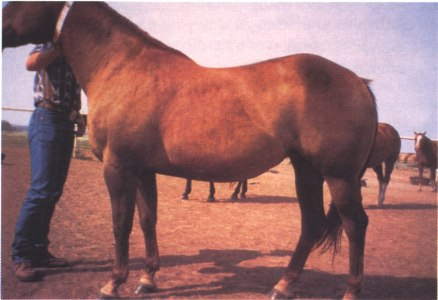 Broodmare in early gestation in Body Condition 6: Moderate to Fleshy.