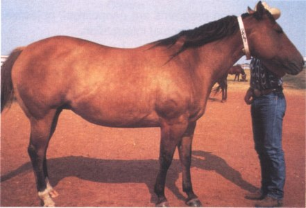 Broodmare in early gestation in Body Condition 7, Fleshy.