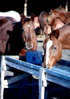 Horses eating a mineral block