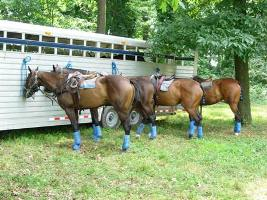 Horses tied to a trailer