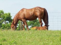 Mares and foal in pasture