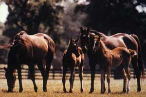 Mares and foals grazing in pasture.