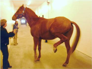 Horse showing signs of Equine Shivers