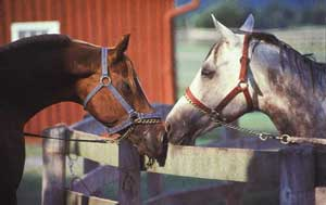 Horse Breeding Behavior – Horses