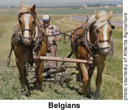 Belgians Plowing a Field