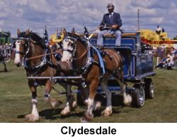 Clydesdales pulling a Wagon