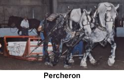 Percheron's Pulling Sled in Competition