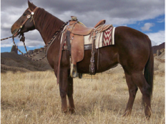 side view of saddled brown ranch horse