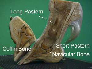 Labelled bones of the Horse's hoof