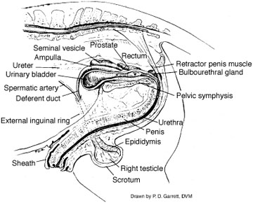 Stallion Reproductive Tract