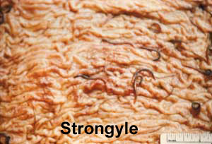 Strongyl in Intestinal tract